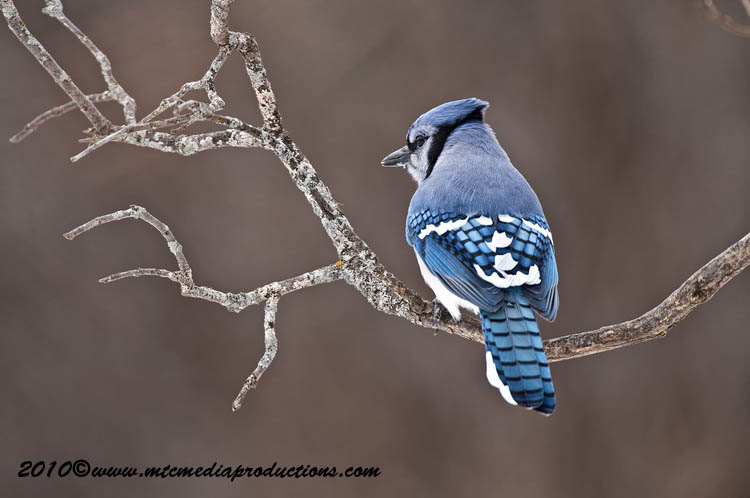 Blue Jay Picture-295
