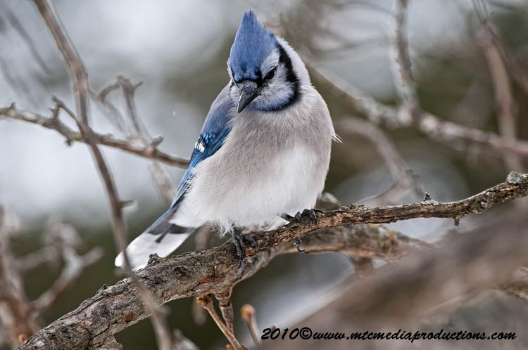 Blue Jay Picture-297