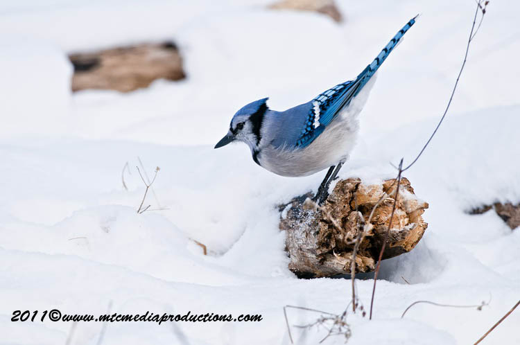 Blue Jay Picture-298