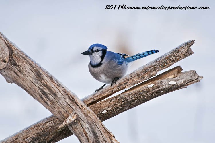 Blue Jay Picture-299