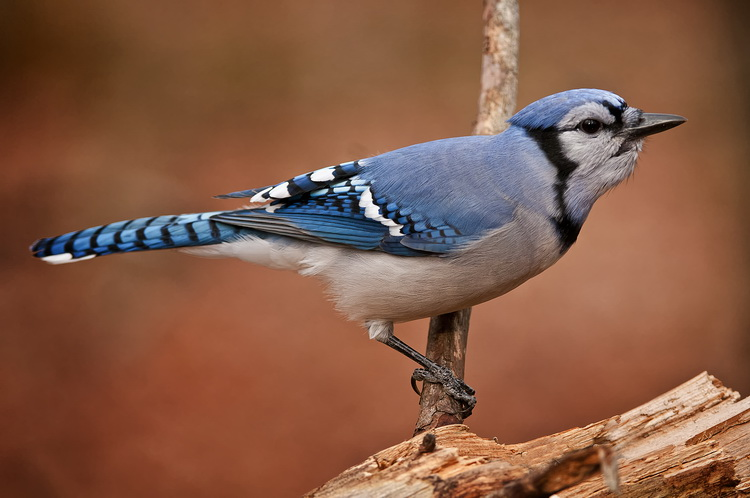 Blue Jay Picture-302