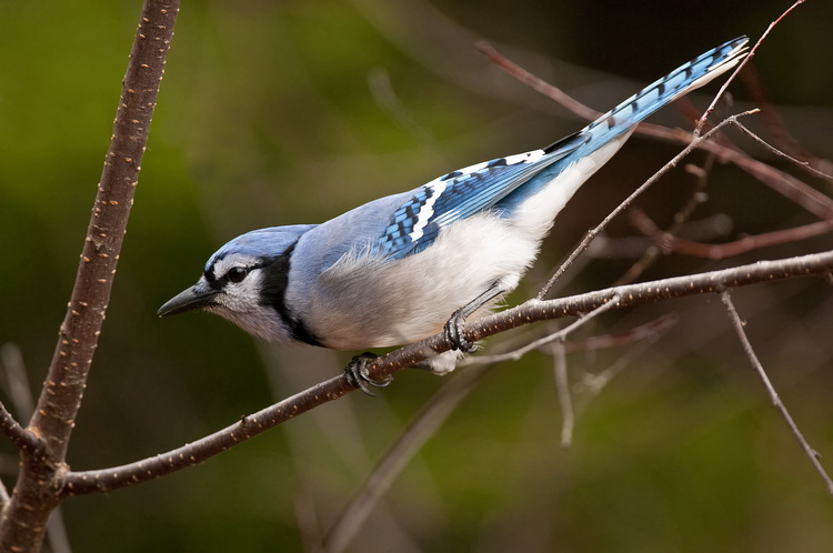 Blue Jay Picture-303
