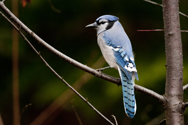 Blue Jay Picture-305