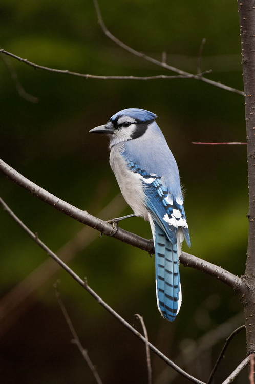 Blue Jay Picture-306