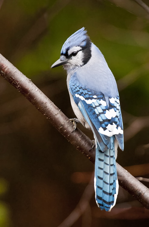 Blue Jay Picture-308