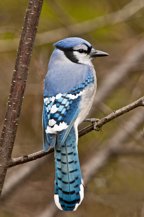 Blue Jay Picture-309