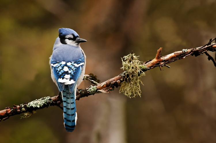 Blue Jay Picture-310