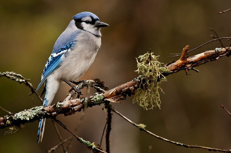 Blue Jay Picture-311