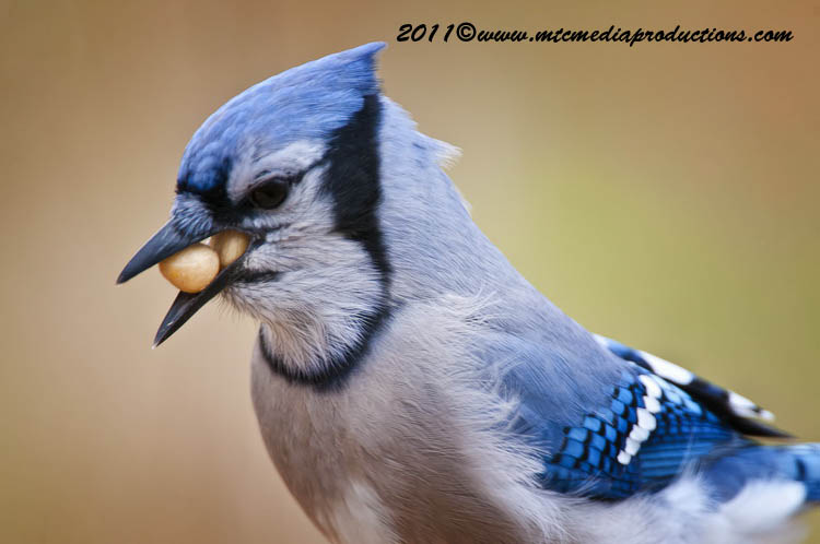Blue Jay Picture-312