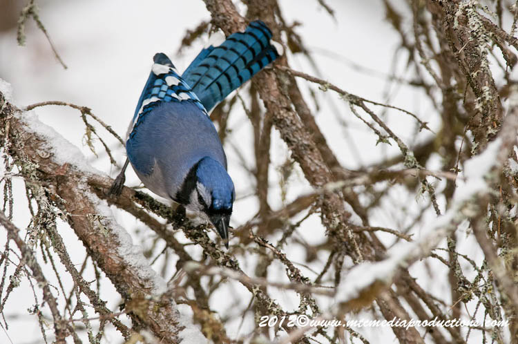 Blue Jay Picture-313