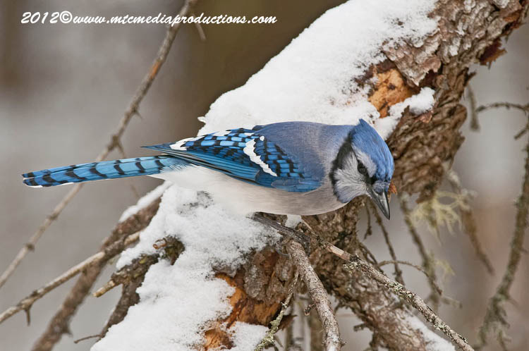 Blue Jay Picture-314