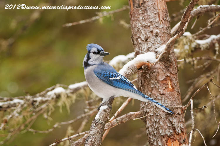 Blue Jay Picture-315