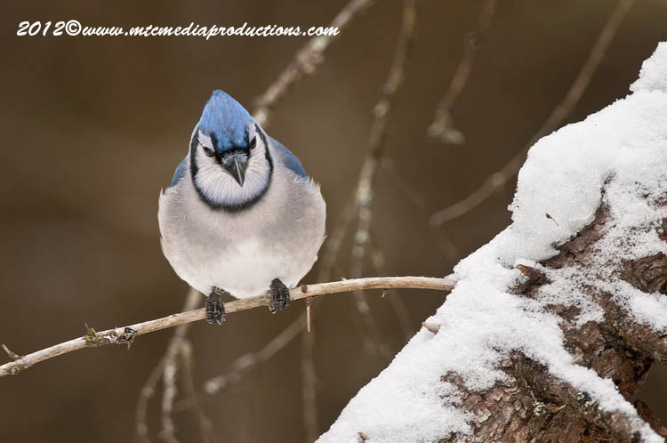 Blue Jay Picture-316