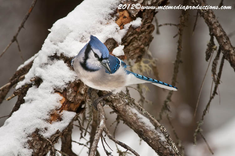 Blue Jay Picture-317