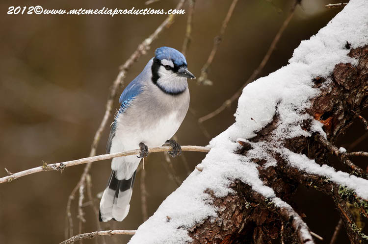 Blue Jay Picture-318