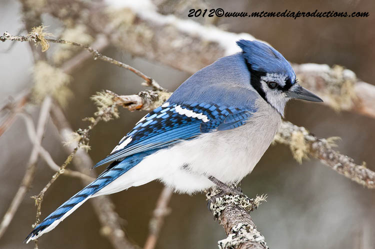 Blue Jay Picture-319