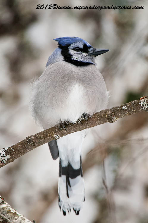 Blue Jay Picture-320