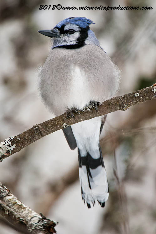 Blue Jay Picture-321
