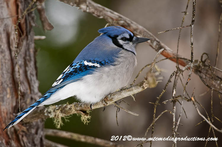 Blue Jay Picture-323