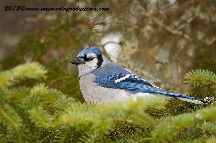 Blue Jay Picture-324