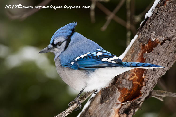Blue Jay Picture-325