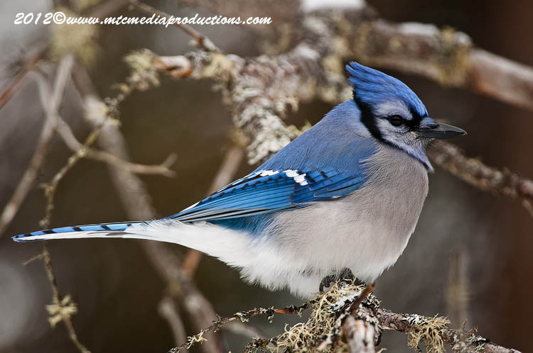 Blue Jay Picture-326