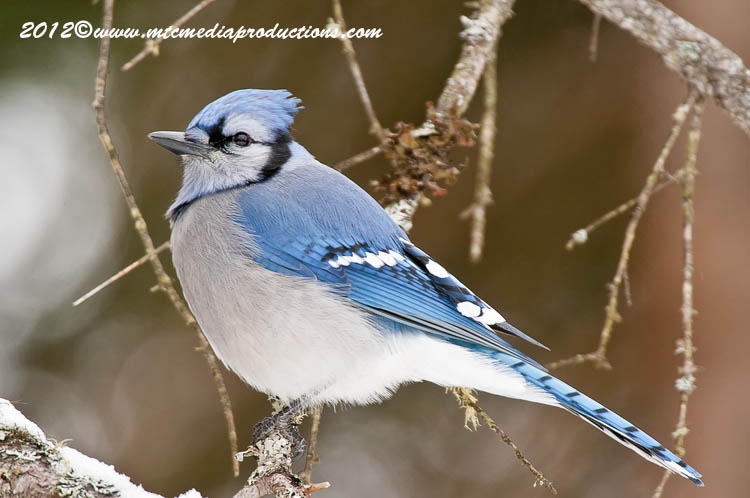 Blue Jay Picture-328