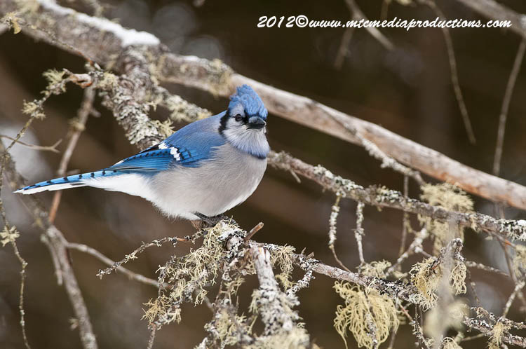 Blue Jay Picture-332