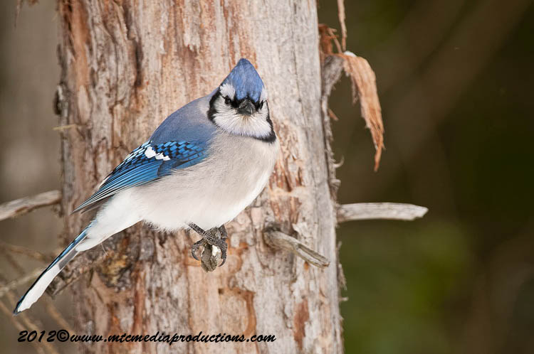 Blue Jay Picture-333