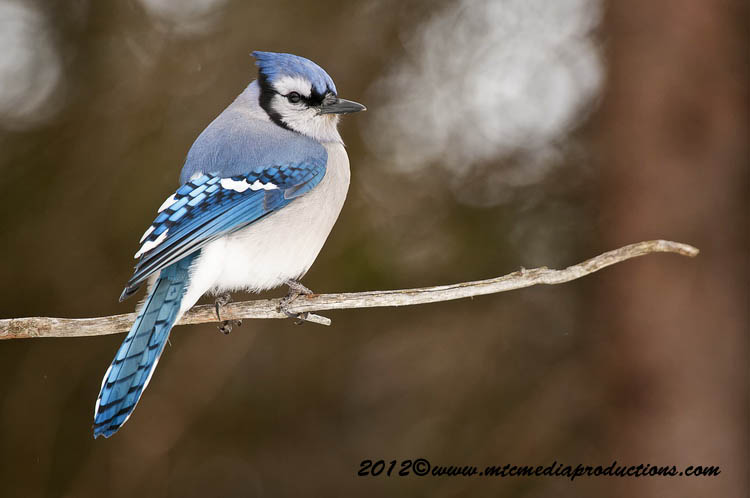 Blue Jay Picture-334