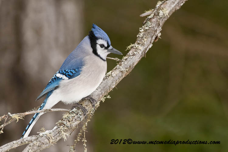 Blue Jay Picture-335