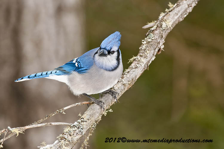 Blue Jay Picture-336