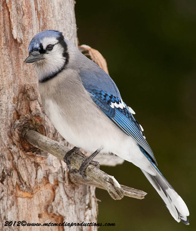 Blue Jay Picture-337