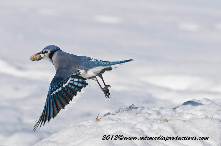 Blue Jay Picture-338