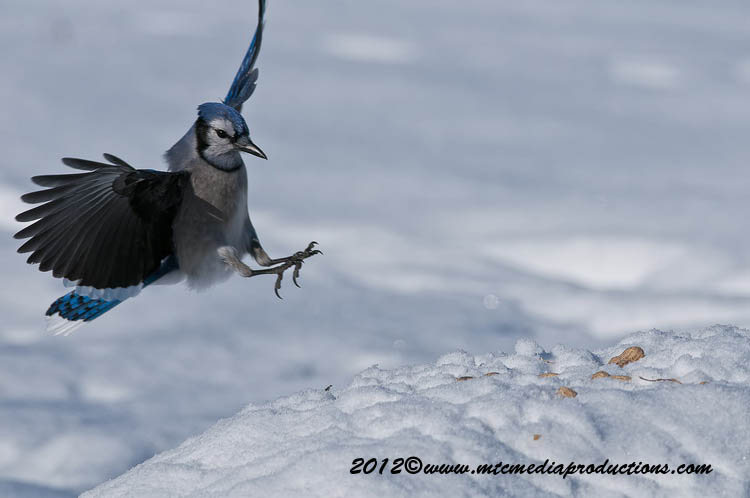 Blue Jay Picture-339