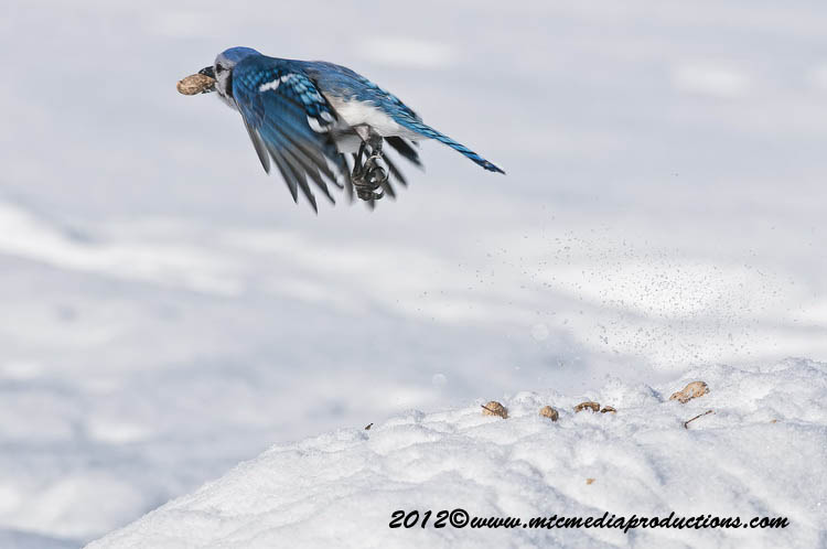 Blue Jay Picture-340
