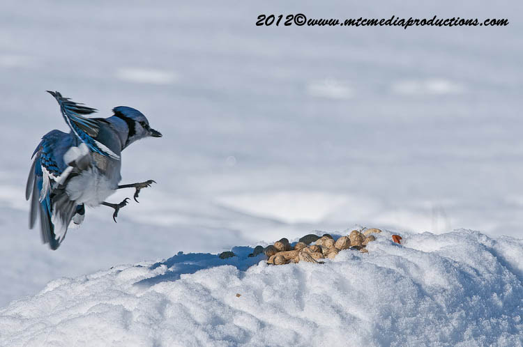 Blue Jay Picture-342