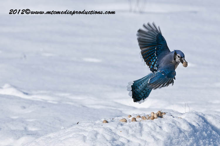 Blue Jay Picture-343
