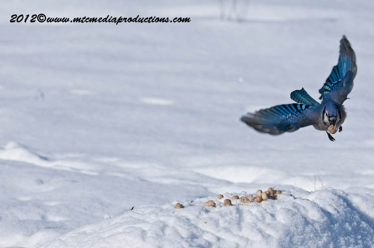 Blue Jay Picture-344