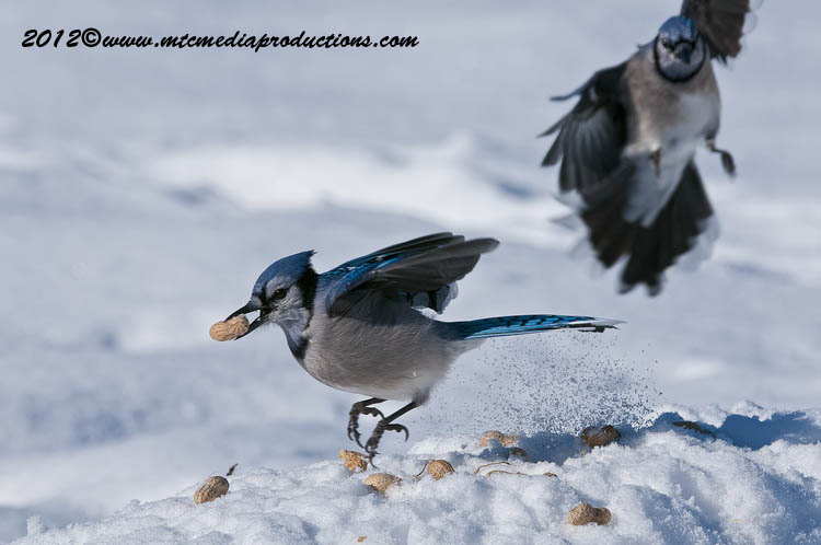 Blue Jay Picture-345