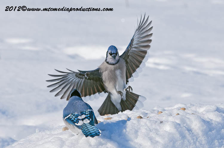 Blue Jay Picture-346
