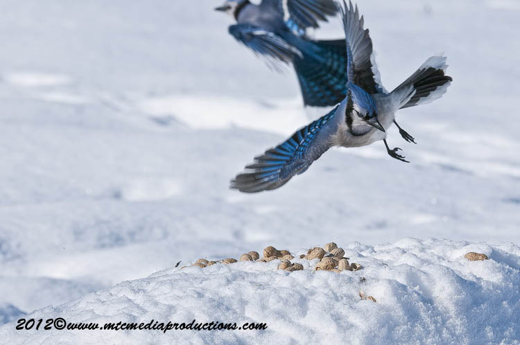 Blue Jay Picture-347