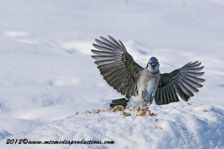 Blue Jay Picture-348