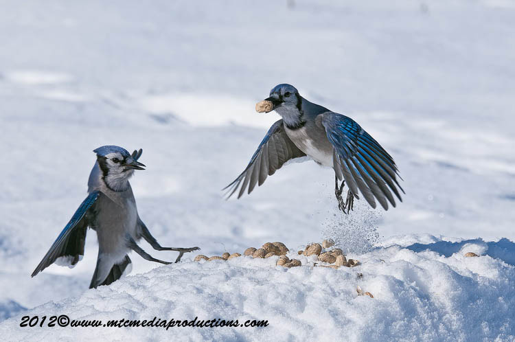 Blue Jay Picture-349
