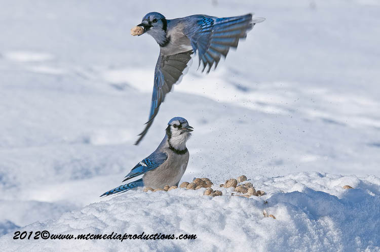 Blue Jay Picture-350