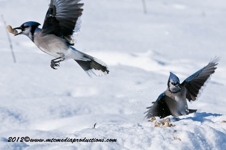 Blue Jay Picture-351