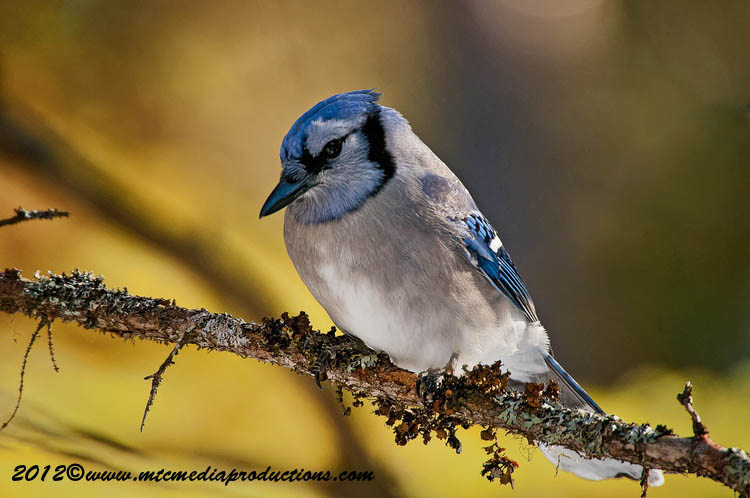 Blue Jay Picture-352
