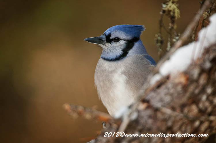 Blue Jay Picture-353
