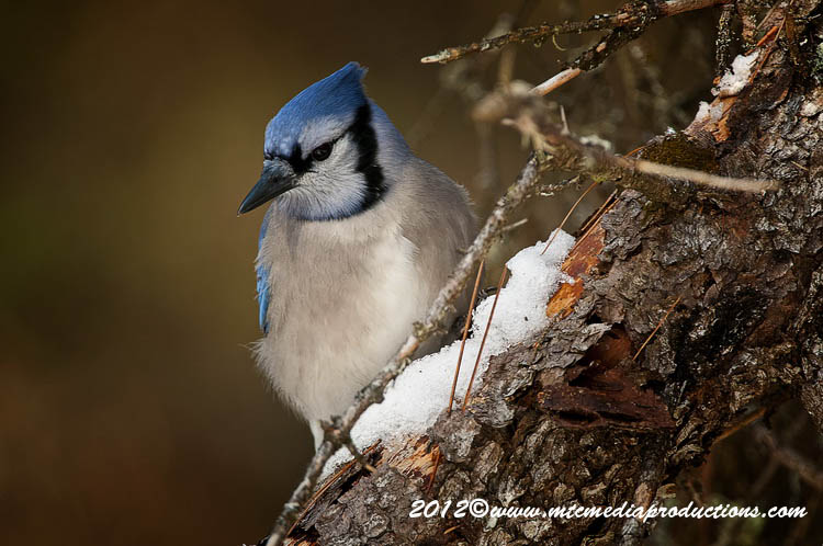 Blue Jay Picture-354
