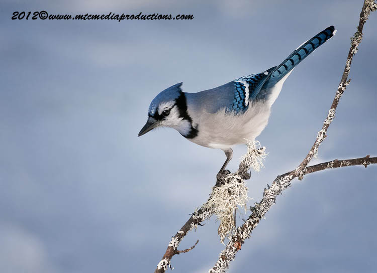 Blue Jay Picture-355